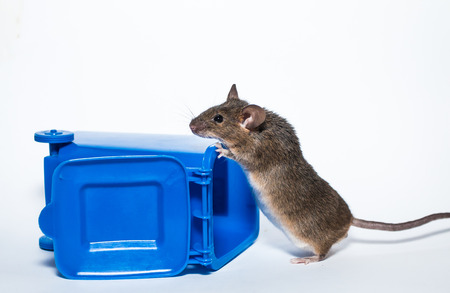 Brown laboratory mouse, recycle container Stock Photo