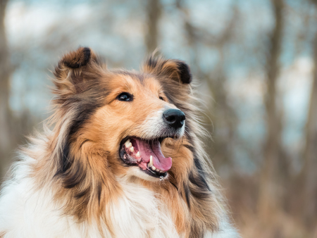 Portrait of a rough collie, young and happy Фото со стока