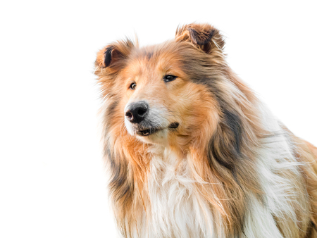 Adorable rough collie portrait with white background, isolated