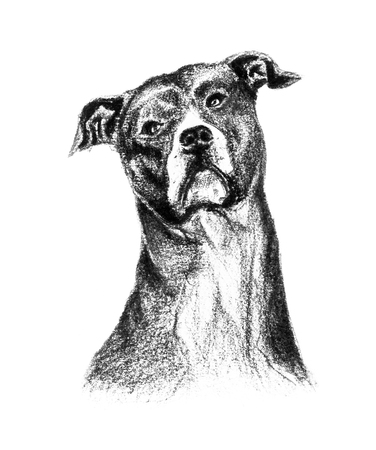 Pencil and charcoal drawing of an American Staffordshire terrier, portrait Stock Photo