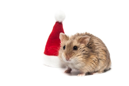 Small dwarf campbell hamster with Christmas hat, in studio, isolated on white background
