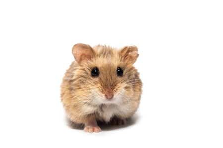 Cute furry small dwarf campbell hamster in a studio, white background