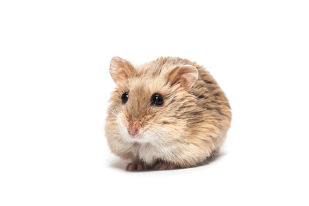 Cute furry small dwarf campbell hamster in a studio, white background 免版税图像