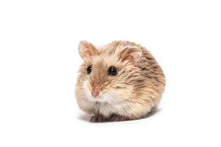 Netter pelziger kleiner Zwergcampbellhamster in einem Studio, weißer Hintergrund Standard-Bild