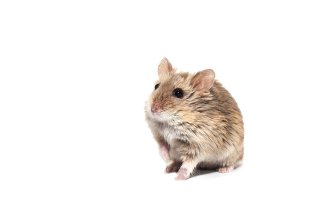 Cute furry small dwarf campbell hamster in a studio, white background Zdjęcie Seryjne