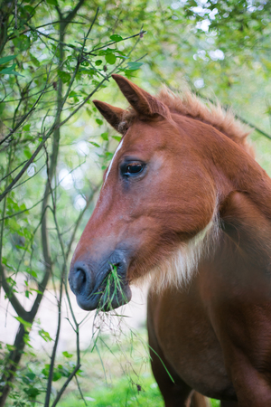 Portrait of a brown horse that is eating and chewing green grass, outside Stock Photo