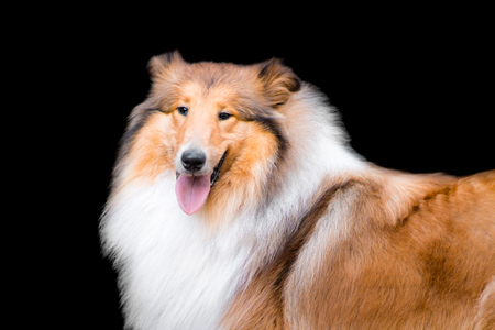 Portrait of adorable fluffy long haired rough collie isolated on black