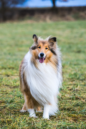 Obedient gold long haired rough collie waiting for commands