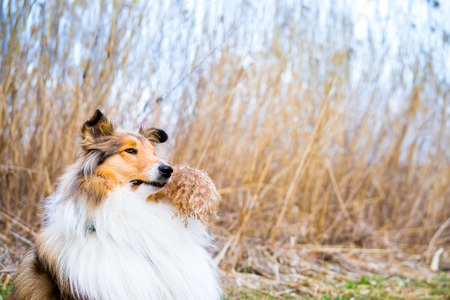 Portrait of an adorable gold rough collie holding reed in her mouth Archivio Fotografico