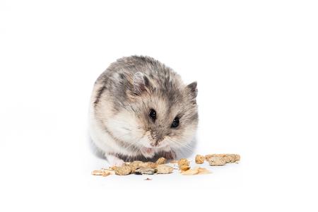 Little dwarf campbell hamster eating at studio