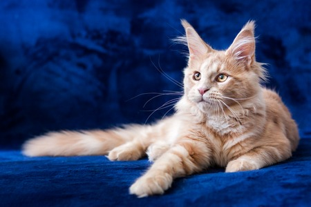 Adorable small maine coon cream tabby kitten lying on a blue background