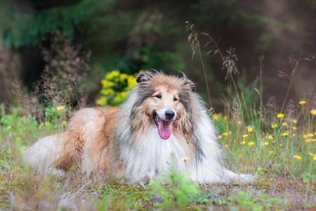 Long haired gold rough collie lying outside at a park