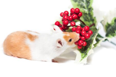 Orange mouse at studio sniffing to a holly flower Stock Photo