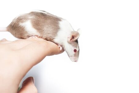 Brown spotted mouse sitting on a hand, studio shot