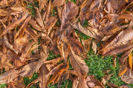 Autumn gold brown leaf, can be used as background Imagens