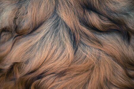 Close up of rough collie long gold fur, nature pattern Reklamní fotografie