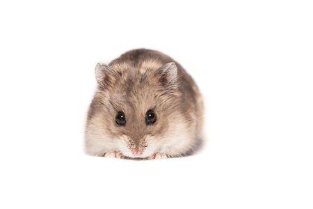 Kleiner süßer Zwerg Campbell Hamster in einem Studio auf weißem Hintergrund