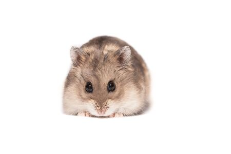 Small cute dwarf campbell hamster at a studio on white background