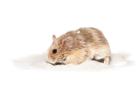 Small cute dwarf campbell hamster at a studio on white background, on a bathing sand Stockfoto