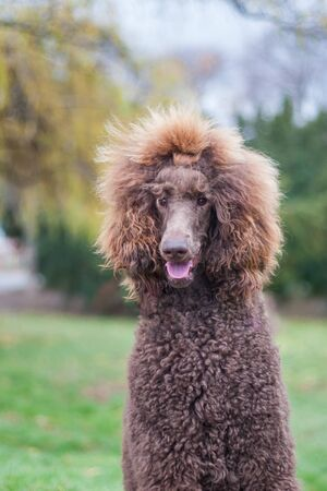 Portrait of a groomed furry adorable brown hair standard poodle in a park