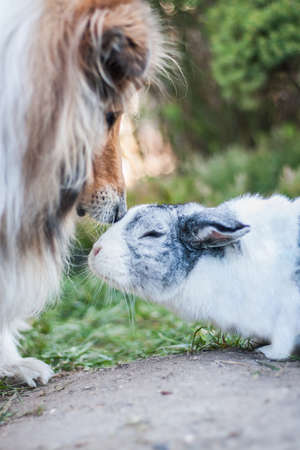 Rough collie dog sniffing to a dutch rabbit - small bunny, outside Archivio Fotografico