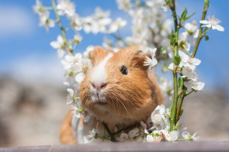 Adorable young ginger guinea pig behind cherry blossoms portrait