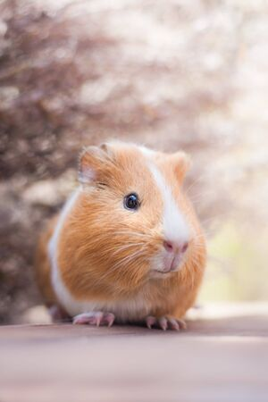 Adorable young ginger guinea pig portrait
