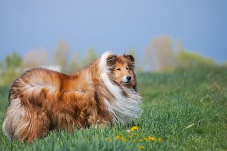 Beautiful long haired fluffy rough collie standing at a green field, blue sky