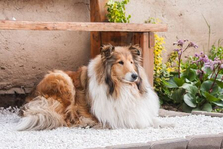 Gold long haired rough collie lying under a wooden bench