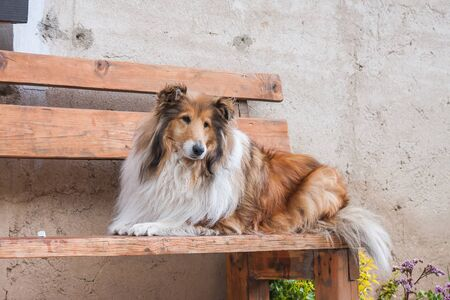 Gold long haired rough collie lying on a wooden bench