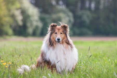 Portrait of a gold long haired rough collie, green natural background
