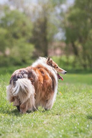 Beautiful long haired fluffy rough collie standing at a green field