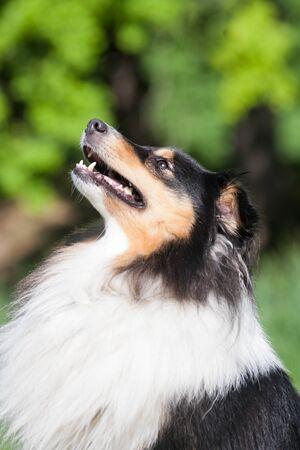 Tricolor adorable shetland sheepdog - sheltie portrait