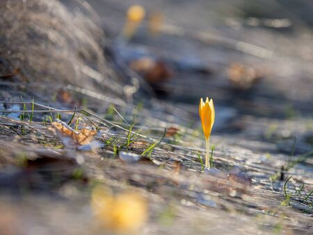 A small and delicate yellow crocus flower poking through the soil in February, enjoying the sunlight