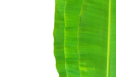 banana leaf background Stock Photo - 9648170