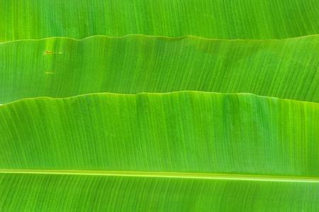 banana leaf background photo