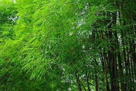 fresh green bamboo forest,Background photo