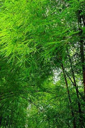 fresh green bamboo forest,Background Stock Photo - 10693342