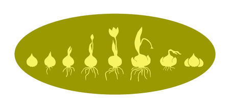 Life cycle of bulbous plants