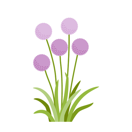 Flowering onion with green leaves, purple garden flowers vector illustration