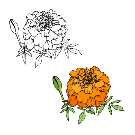 Tagetes or Marigold flower, Mexican Day of the dead Фото со стока - 104400333