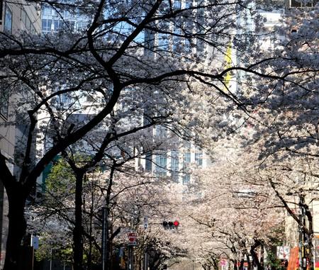 Day cherry blossoms of the Cherry Street Bridge