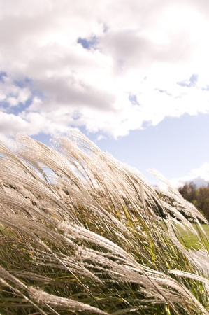 Tall grass blowing in the wind with cloudy sky Imagens
