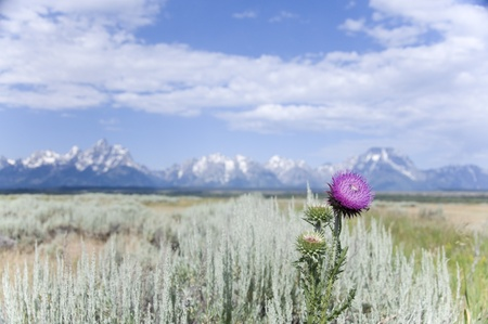 Purple Flower Grand Tetons Mountains