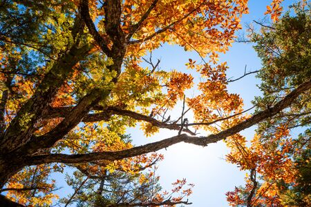 sunlight through a beautiful red maple in autumn season with blue sky