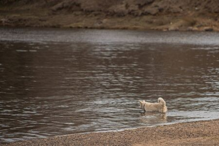 a light colored dog bathes in the river in spr
