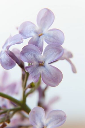 lilac background. macro photography, close-up of flowers, beauty of nature