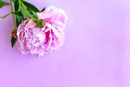 Purpure peony flowers on pink wooden background. Top view Zdjęcie Seryjne