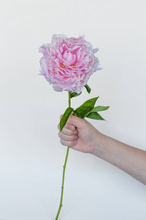 Peony flower in beautiful young woman's hands. Pink background. Zdjęcie Seryjne