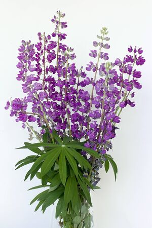 Lupines bouquet purple colors and green umbrella leaves.